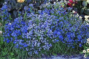 Blue Flowers For Your Garden And Home