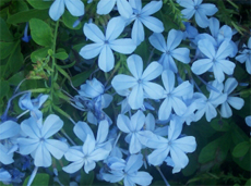 Blue Leadwort Or Plumbago Auriculata Ceratostigma Plumbaginoides Is An Upright Climbing Shrub That Grows Up To 1 2 Feet Tall