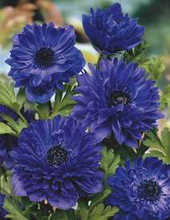 Blue flowers for your garden and home anemone flower in late spring and early summer prefers well drained soil each bulb produces 3 to 5 stems of long lasting blooms up to 1 foot tall mightylinksfo