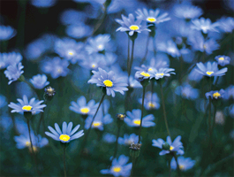 Blue flowers for your garden and home mightylinksfo