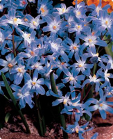 Blue flowers for your garden and home glory of the snow blue giant chionodoxa forbesii a blue to blue violet flower with white center is an early bloomer february april and can reach 8 mightylinksfo