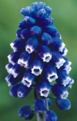 Blue flowers for your garden and home are also perfect as a ground cover grows rapidly up to 8 tall multiplies annually and thrives almost anywhere in the garden best in zones 4 9 mightylinksfo