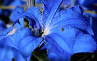 Blue flowers for your garden and home - What are blue roses called ...