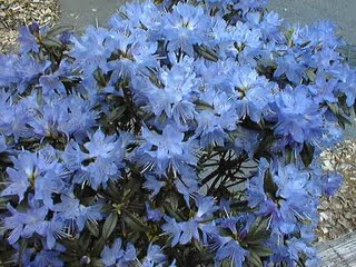Blue flowers for your garden and home orders must be placed by january for spring delivery also available from blue sky nursery and briggs nursery mightylinksfo