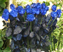 The World S First True Blue Roses Were Unveiled October 2008 At A Tokyo Flower Show After 20 Years Of Research And 30 Million Investment