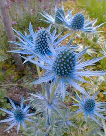 Blue flowers for your garden and home in autumn with considerable ornamental appeal for long lasting dried flower arrangements growing up to three feet tall they do best in zones 5 9 mightylinksfo
